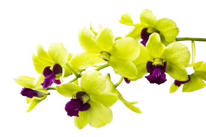 Orchid flower color meaning natural orchids boutique green green orchids are thought to bring good fortune and blessings they represent good health nature and longevity mightylinksfo
